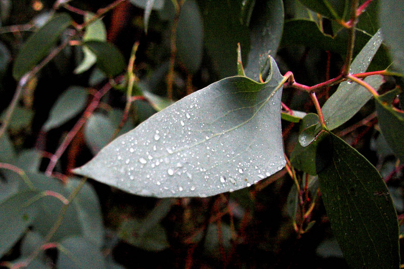Rain droplets on a gum leaf.