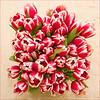 Tulips from Breda