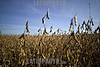 Bolivia : Plantacion de la soja . / Soy plantation. / Bolivien: Sojabohnenölplantage. © Patricio Crooker/LATINPHOTO.org