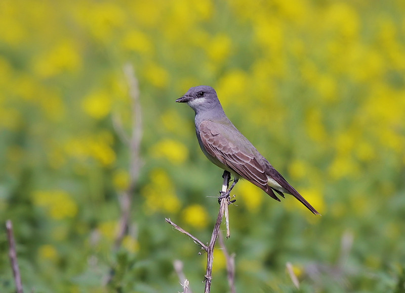 And a Cassin's Kingbird, too.