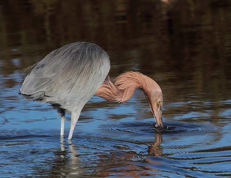 The Reddish Egret in early-morning at Bolsa Chica, January 20 2010. Taken with the Canon 7D/500 f4 lens plus 1.4xTC.