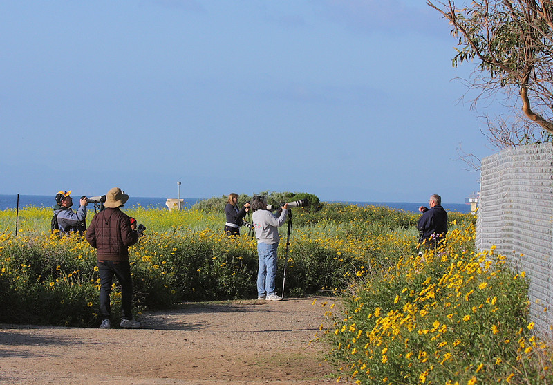 "The nesting Great Blue Herons are attracting a crowd on Raptor Ridge, including my good friend Anthony Whitmore (""Anthony Whitmo"" on the Fred Miranda Nature and Wildlife forum) who'd come to southern California for a visit, March 7 2009."