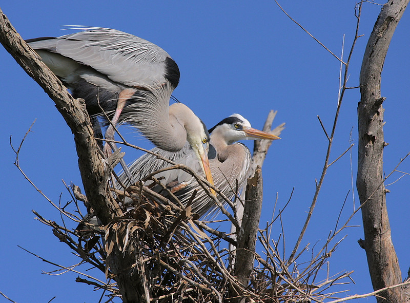 This Great Blue Heron nest is right out in the open, affording great views of nesting behavior, March 7 2009.