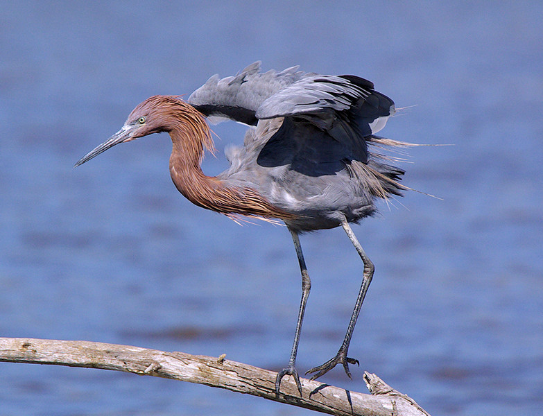 Reddish Egret at the back pond at Huntington Beach, CA's Bolsa Chica Ecological Preserve, October 1 2007.