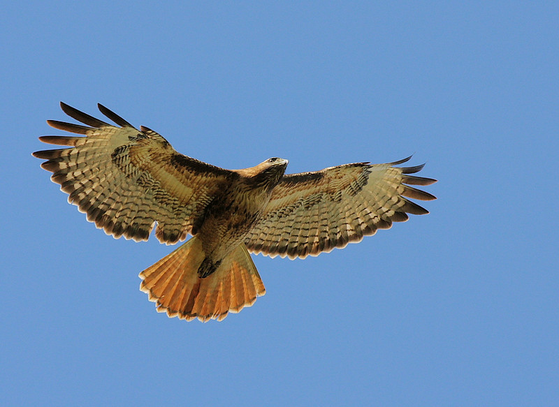 "One of the resident Red-tails in the back area near the ""bean field"", March 7 2009."