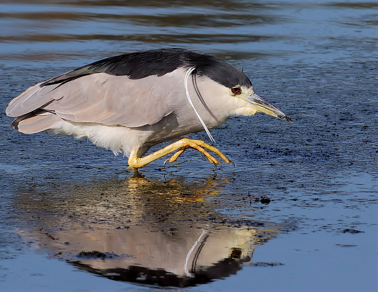 An adult (in breeding plumage) Black-crowned Night Heron, January 5 2013.