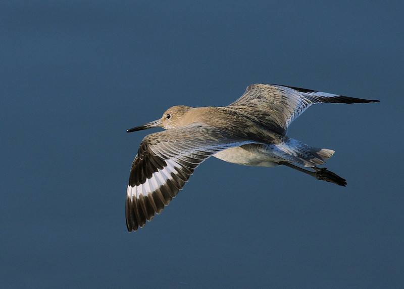 """Just"" a Willet in flight, Feb 12 2009."