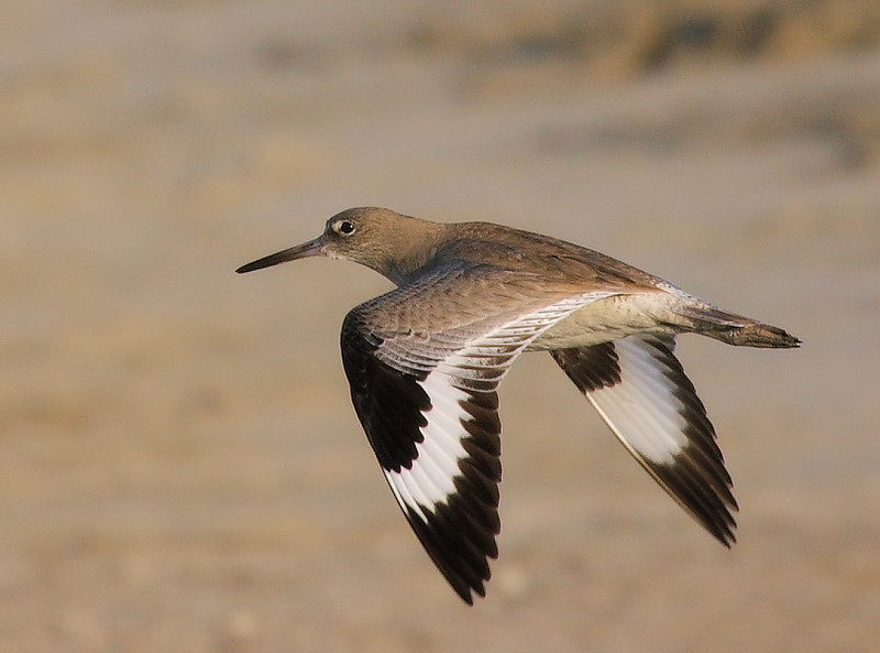 Willet crossing the main footpath, January 7 2009.