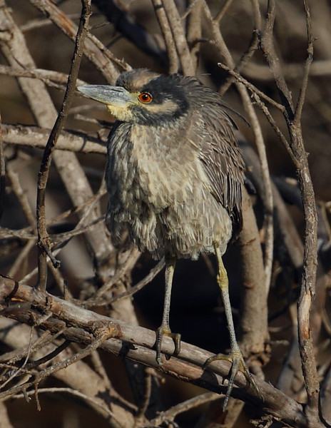 A rare-for-the-area juvenile Yellow-crowned Night Heron, January 5 2013.