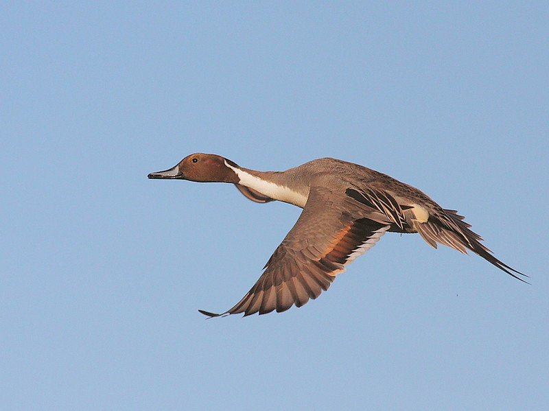 Male Northern Pintail in flight, Jan 14 2009.