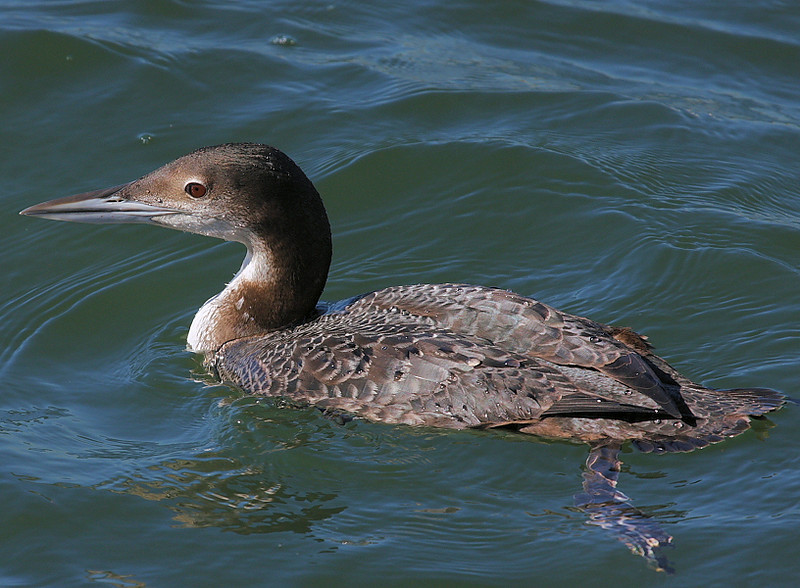 Common Loon, unusual to see at Bolsa Chica, taken from the footbridge on January 14, 2009.