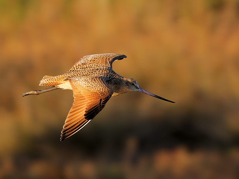 Marbled Godwit flight in early-morning light, Feb 12 2009.