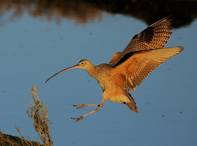 The Long-billed Curlew moments before touchdown.