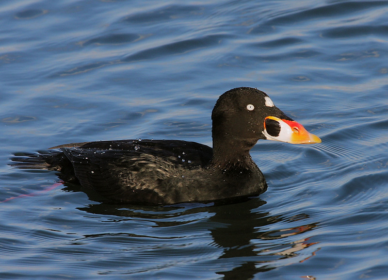 The Surf Scoter from Bolsa Chica's footbridge.