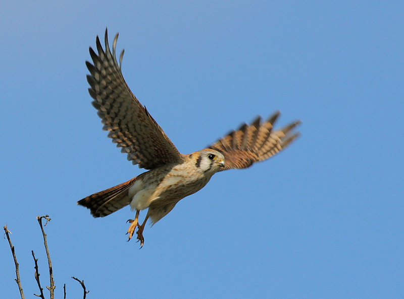 One of the local Kestrels just after takeoff, also in the back area of Bolsa Chica.
