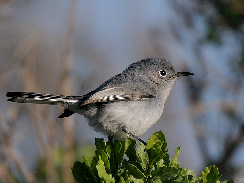Blue-Gray Gnatcatcher in the mesquite and shrubs near the benches on Raptor Ridge, Jan 7 2009.