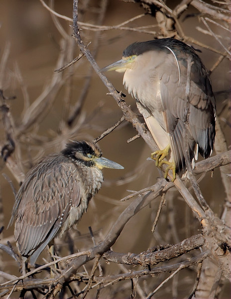The juvenile Yellow-crowned Night Heron alongside an adult Black-crowned Night Heron, January 5 2013. You can see the difference between the two species, particularly the heavier-looking, thicker bill on the Yellow-crowned.