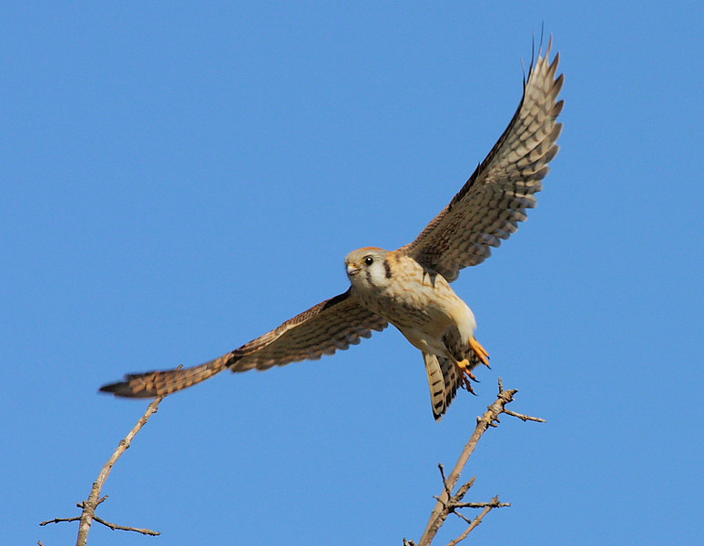 "This and the next 2 photos are a ""takeoff"" sequence of a female American Kestrel, taken in the back are of Bolsa Chica near the bean field, Feb 2 2009."