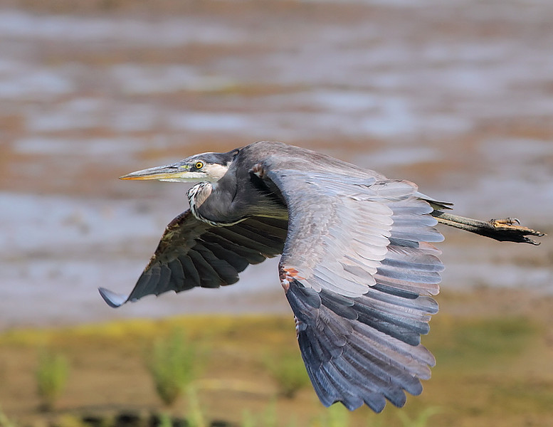 Great Blue Heron taken with the Canon 7D/500 f4, July 16 2010.
