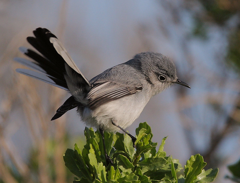 Another look at the Blue-Gray Gnatcatcher fanning its tail.