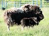 musk ox at the Wild Animal Farm in Dawson Creek0001_1