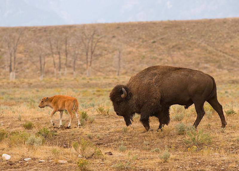 Buffalo on Gros Ventre road