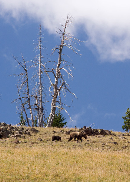 Yellowstone Grizzly & cub