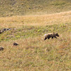Mom Grizzly and her two cubs.  She also adopted two older cubs you will see later.