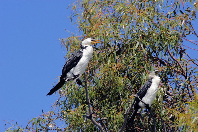 A couple of rather large Little Pied Cormorants (Phalacrocorax melanoleucos) sitting on tree branches that don't quite seem large enough to carry them.