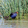 "A Purple Swamphen (Porphyrio porphyrio). <br /> <br /> A very nicely coloured bird, but its description in my bird book is less flattering: ""Aggressive between groups""; ""takes eggs/young""; ""scavenges dead birds, fish""; ""high pitched rasping screeches"". Also known as the Bald Coot (!)"