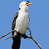 This Pied Cormorant is looking rather self confident as he poses for his self-portrait.