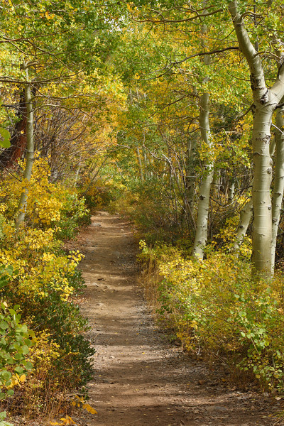 A pleasant path through the Aspens, Lundy Canyon, Eastern Sierra, Fall 08