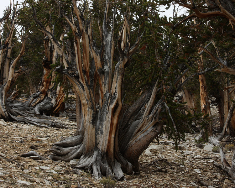 "Bristlecone Pine ""Family"", Schulmann Grove, White Mountains, Fall 08"