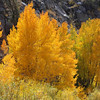 Aspens on Fire, North Lake, Eastern Sierra Fall 08