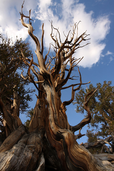 Bristlecone Pine, Schulmman Grove, White Mountains, Fall 08