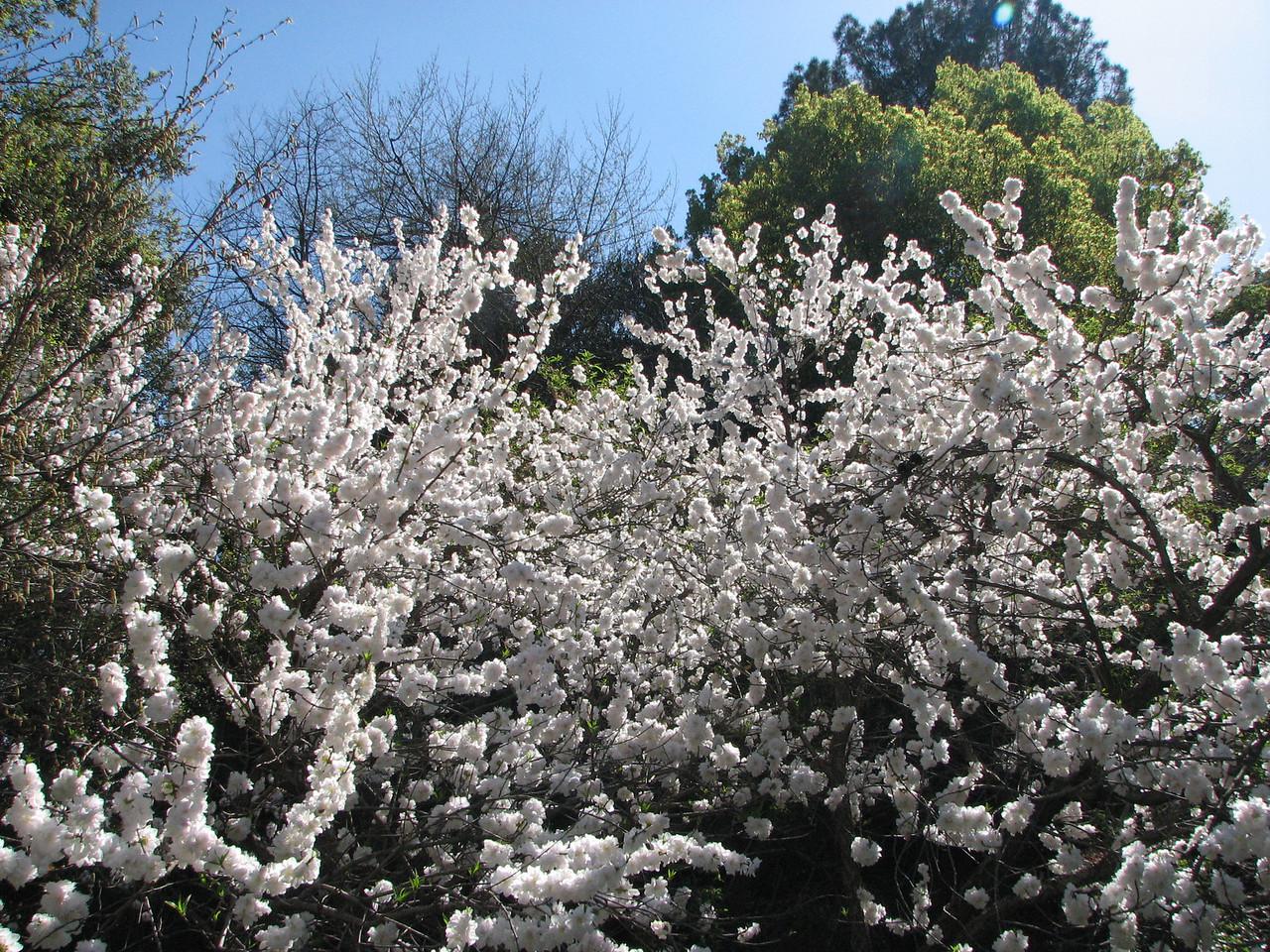 2008 03 09 Sun - Blooming tree