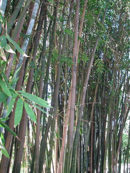 2008 03 09 Sun - Japanese garden - bamboo forest 1