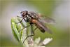 Fly on Rosemary