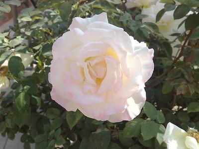 2008.04.02 Rose