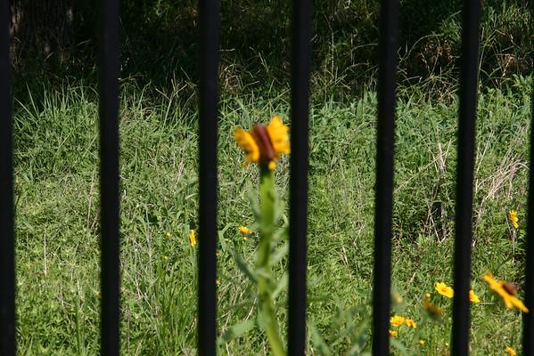 20080531 Mutant sunflower