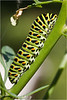 Climbing Catterpillar