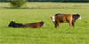 Westmalle Abbey Cows