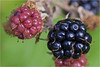 Fruit of a Bramble Bush