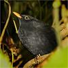 Merel = Blackbird