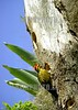 Brasil- Rio Grande do Sul : Un pajaro carpintero busca alimento en troncos de un arbol . / Brazil -Rio Grande do Sul : A woodpecker looks for food in the trunks of a tree. / Brasilien : Rio Grande do Sul. Specht. © Neco Varella/LATINPHOTO.org (NO ARCHIVO-NO ARCHIVE-ARCHIVIERUNG VERBOTEN!)