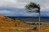 Chile: Patagonia Chilena , arbol doblado por la accion de los fuertes vientos que soplan en la Patagonia Chilena . / Chilean Patagonia tree bent by the action of strong winds. / Vom Wind gebogener Baum in Patagonien. © Francisco Negroni/LATINPHOTO.org