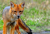 Chile: El zorro Culpeo . El zorro es un personaje tipico de las Torres del Paine y alrededores , se acerca a turistas y campamentos tratando de encontrar cualquier comida facil que pueda tomar. Torres del Paine, Duodecima Region, Chile. / Culpeo (Lycalopex culpaeus), sometimes known as the Patagonian Fox or Andean Fox, South American species of wild dog. / Der Andenschakal, auch unter Andenfuchs, Feuerlandfuchs, Magellanfuchs, Culpeo, Culpeofuchs oder patagonischer Fuchs bezeichnet ist der hinter dem Mähnenwolf zweitgrösste Wildhund Südamerikas. © Francisco Negroni/LATINPHOTO.org
