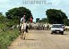 Venezuela : El paso de ganado por las tierras apurenas, Achaguas, estado Apure . Cebus. / Zebu - Kühe in Achaguas. Buckelrind. © Juan Carlos Hernandez/LATINPHOTO.org