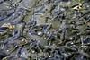Mexico : Productores de truchas trabajan en las granjas de Amanalco de Becerra donde se producen cientos de miles de crias . / fish, hatcheries, producers, economy, trouts, farms. / Mexiko: Forellenzucht in Amanalco. Fische, Brutplatz, Forellen, Fischzucht, Teichwirtschaft, Aufzuchtbecken. © Mario Vazquez de la Torre/LATINPHOTO.org