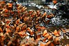 Mexico : Mariposas Monarca Danaus Plexippus que invernaron desde finales del mes de Noviembre en los bosques de oyamel del santuario de La Mesa (a 150 kilometros al poniente de la ciudad de Mexico), iniciaran el viaje de regreso de mas de 5 mil kilometros hasta la region de los grandes lagos en Canada . Los insectos permanecieron por mas de cuatro meses en la reserva de la biosfera de conservacion en los limites de los estados de Mexico y Michoacan. / The monarch (Danaus plexippus) is a milkweed butterfly (subfamily Danainae), in the family Nymphalidae. It is perhaps the best known of all North American butterflies. By the end of October, the population of the Rocky Mountains migrates to the Mexican state of Michoacan. monarch butterflies, nature, forest, ecology, insects, sanctuary. / Mexiko: Der Monarchfalter (Danaus plexippus) ist ein Schmetterling (Tagfalter) aus der Familie der Edelfalter (Nymphalidae). Den Sommer verbringen die Falter im Norden der USA und an der kanadischen Grenze. Ein Teil überwintert entlang der Küsten des Golfs von Mexiko oder an den südlichen Küsten des Atlantiks. Im Winter hängen die Falter aneinandergeklammert in grossen Trauben an Oyamales-Bäumen. Monarchschmetterlinge, Natur, Insekt. © Mario Vazquez de la Torre/LATINPHOTO.org